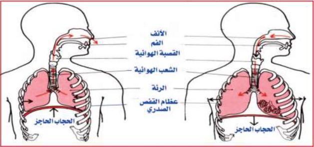 رسما تخطيطيا يوضح كيفية التصاق الرئتين بالقفص الصدري